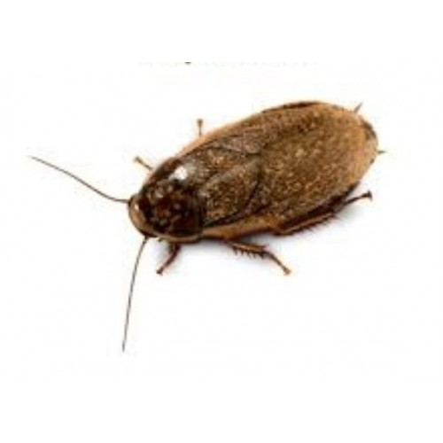 Мраморный таракан 1шт