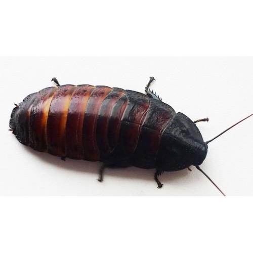 Мадагаскарский таракан крупный 1шт