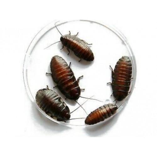 Мадагаскарский таракан мелкий 1шт