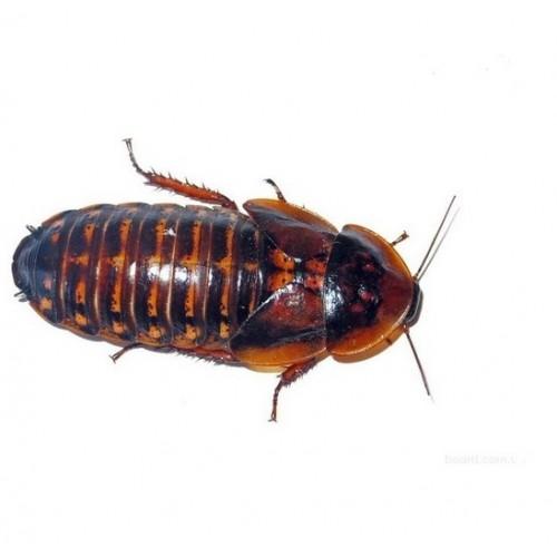 Аргентинский таракан крупный 1шт