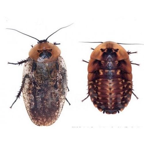 Костариканский таракан крупный 1шт
